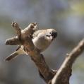 specklefronted weaver - Fjällhuvad skäggfink