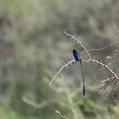 steel blue whydah - Praktänka