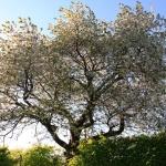Kirsebærtreet
