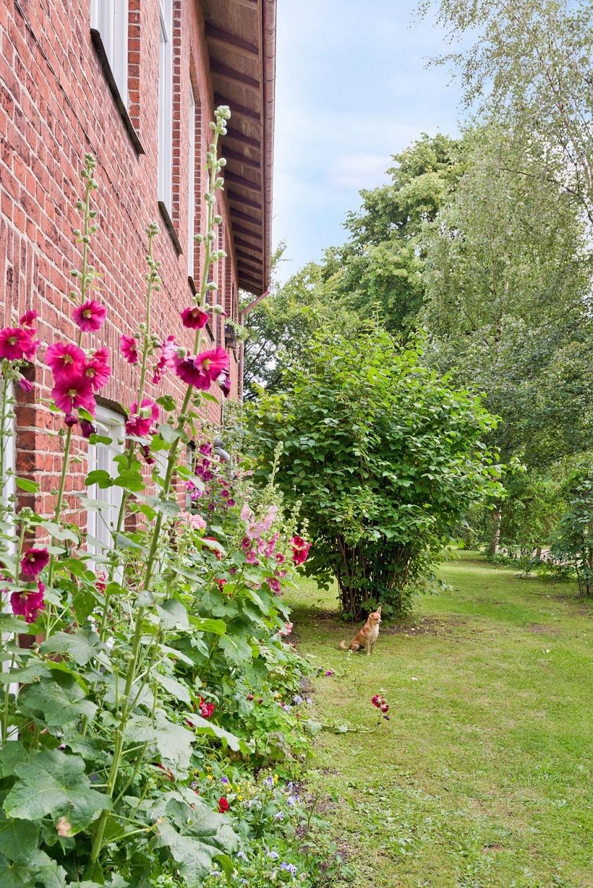Stockrosor och rosor framför köksfönstren i trädgården på framsidan mot parkeringen. Här växer också Forsythia, Häggmispel, Paradisbuske och en väldoftande Schersmin bland mycket annat.