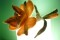 blomma tovad