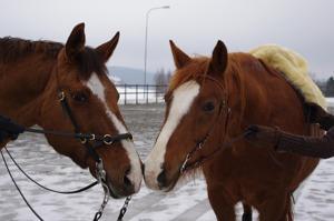 Sir Louie & Kopparpälsen - så lika men ändå så olika. Foto av Åsa Hesselius-F alldén 2010