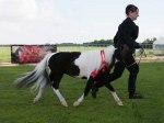 Reserv Champion AOTE Junior stallions Holsted Danmark
