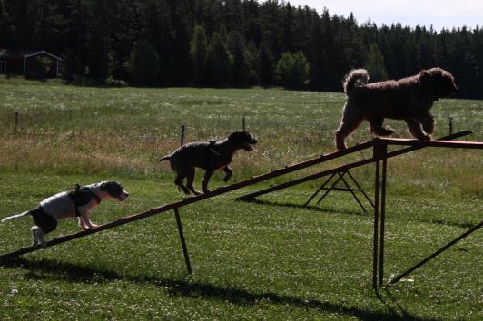 Freja, Attila och Chili påväg upp på balansbommen