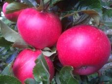 Ylvisåker (röd variant av Aroma).