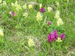 I maj blommar orkideer på Oaxen