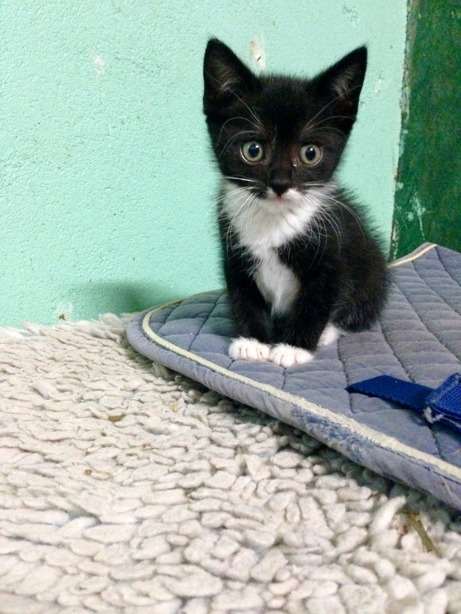 Maja Gräddnos som liten kattunge
