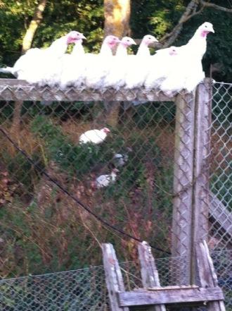 Här är våra kalkoner (ras BUT). Årets kycklingar håller på att lära sig att sova uppradade på staketet...  2012