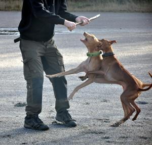 Inka (gult halsband) Faraohund & Leo (svart halsband) Cirneco dell'Etna!