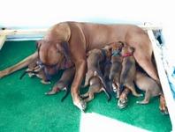 Flisa with 10 puppies efter Jack