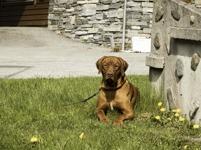 Royce på gräs i ålesund