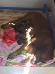 8 puppies and Sandy 1st day of life