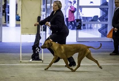 Best of breed at Danish Winner show