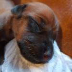 1 day puppy efter Royce