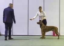 Royce winning ch class at Nordic winner show