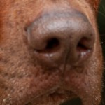 royce nose