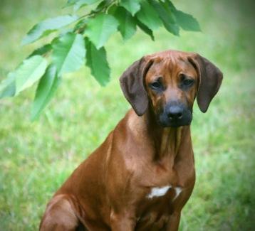 Rubi  puppy