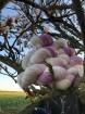 Magnolia. Sockgarn