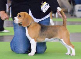 Stille opp beagle