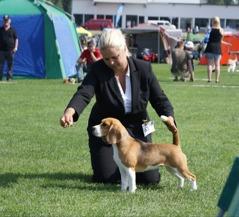 Champion beagle