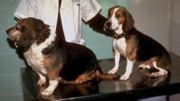 Sammenligning av normal hund og hund med lavt stoffskifte.