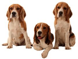 Beagle Norge