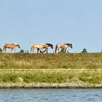 Hästar efter kanalen