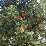 Apelsinerna kvar i träden och redan ny blomning på gång!