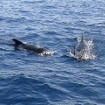 Dolfiner