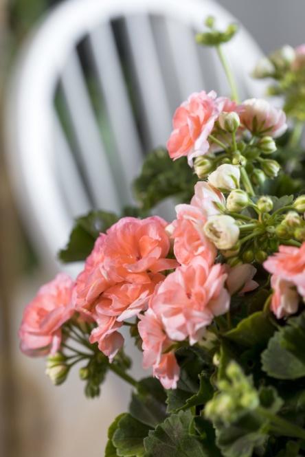 Blomningen på Årets Pelargon 2021 är bedårande och påminner om små rosor. Foto: Emilia Ahlgren