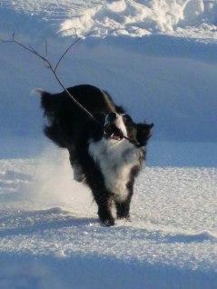 På vintern lyckas Milla alltid att gräva upp någon pinne att leka med.