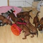 puppies29days4