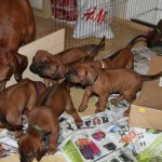 moa_puppies34days2