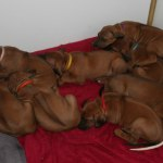 puppies36days1