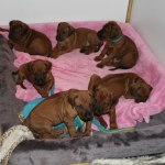puppies38days1