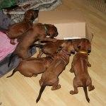 puppies38days2