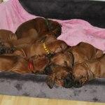 puppies38days3