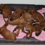 puppies39days1