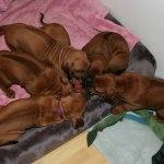 puppies40days1