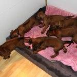 puppies40days5