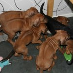 svea_puppies45days1