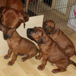 moa_puppies47days1