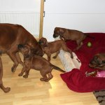 moa_puppies47days2