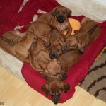 puppies47days2