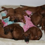 puppies52days1