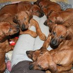 puppies55days1