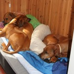 Tired breeder/handler with her girls!