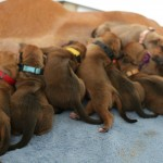 5-7days_puppies4