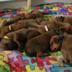 12days_puppies4