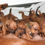 16days_enya_puppies4